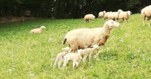Eichberger, Schafe, Lamm, Wiese, grün, Bauernhof, Landwirtschaft, Natur, Freiheit