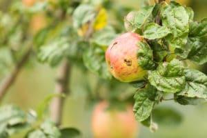 Apfel, Natur, Genuss, Kulinarik