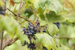 Weintrauben, Uhudlertraube, Weinblatt, Natur, grün, draußen, Genuss, Kulinarik, Steiermark, Graz-Umgebung, Obergraz